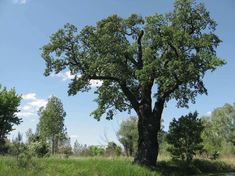 Bartek Oak