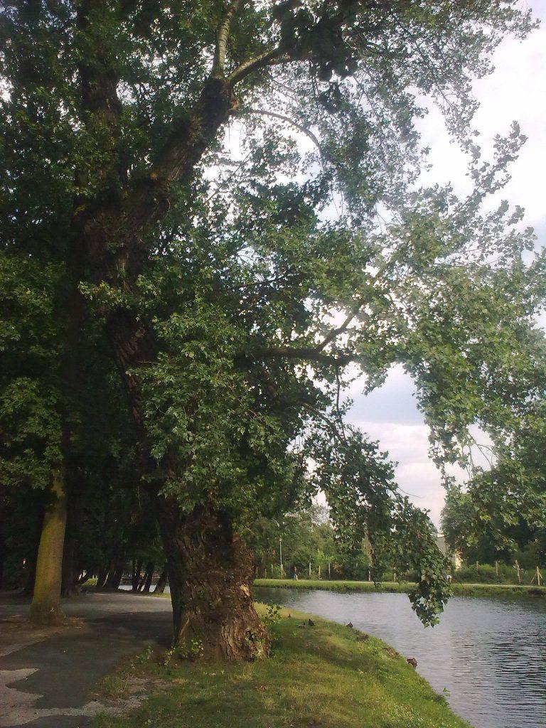 Topola czarna w Parku nad Starym Kanałem Bydgoskim