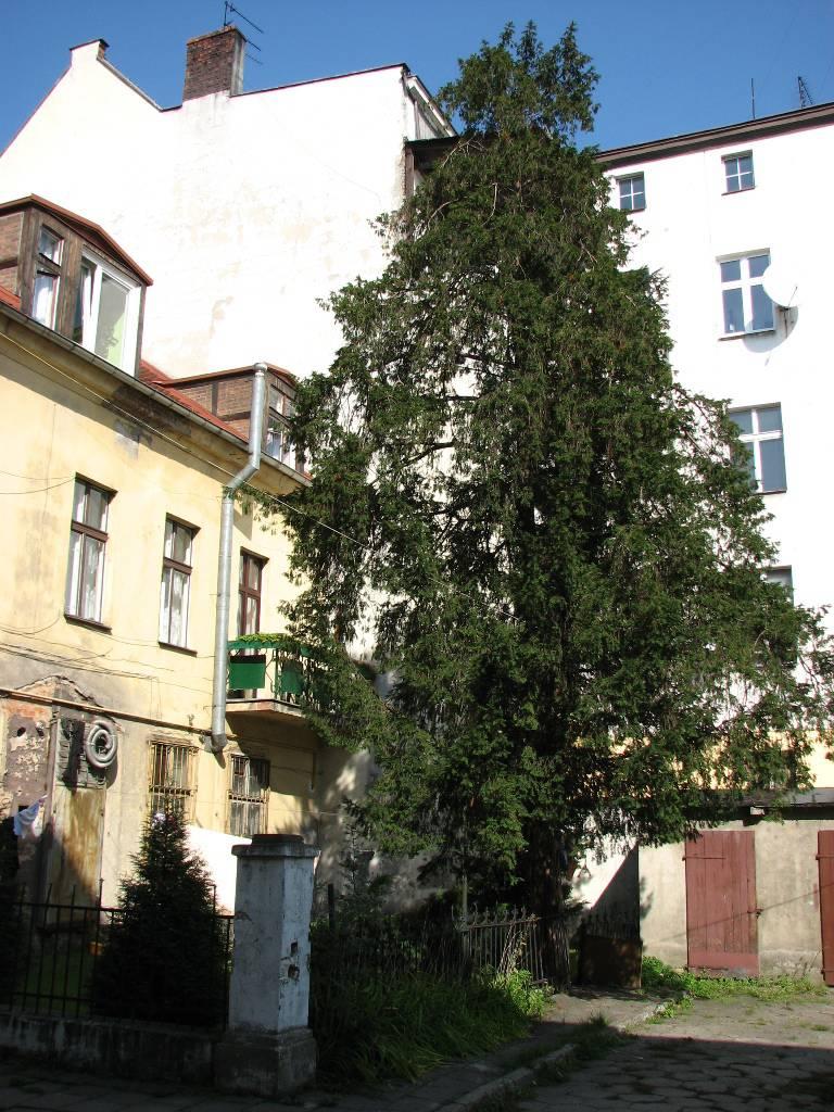 Cis pospolity przy ul. Gdańskiej