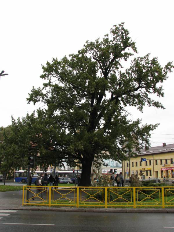 Dąb szypułkowy przy Rondzie Grunwaldzkim